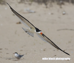 Skimmer in FLight New Jersey shore (Mike Black photography) Tags: ocean new white black bird beach mike nature canon photo big sand year birding nj shore jersey dslr 5ds wnged
