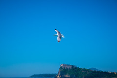 Seagull (elzauer) Tags: leica blue sea italy sunlight motion bird nature horizontal landscape outdoors photography freedom flying day campania seagull sunny it midair procida onthemove mediterraneansea clearsky vertebrate zoology animalsinthewild spreadwings lowangleview animalthemes whitecolor ischiaisland animalwildlife animalbodypart animalwing