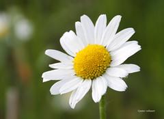 15-IMG_2448 (hemingwayfoto) Tags: blhen blte bltenblatt blume flickr gelb geminewucherblume margerite natur weis