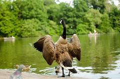 DSC_3423 (barua.amartya) Tags: centralpark park nyc ny newyorkcity lake wildlife street photography summer