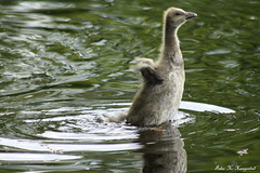 If I flap my wings I might take off (K. Haagestad) Tags: lake fly swan sweet cygnet trying chick