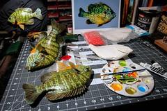 Imitation Beauty (sdl39hogger) Tags: paint acrylic taxidermy reproduction fishpainting pumpkinseedsunfish washesofcolor fiberglassfishreproduction