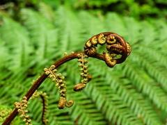 Unfurling (nl042) Tags: bracken fern ferns frond plant leaf leaves