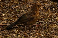 barnsdale 22 (Walwyn) Tags: bird rutland turdusmerula backbird bansdale
