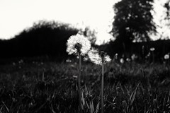(L D Middleton) Tags: ldmiddleton fujifilmx100t fuji fujifilm x100t ashtonunderlyne daisynook countrypark canal path flower dandelions dandelion wishes clocks sunny grass sky