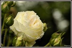 _JVA6862 (mrjean.eu) Tags: park pink flowers blue roses white france flower macro green nature fleur rose yellow fleurs garden nikon jardin botanic lorraine botanique parc metz 105mmf28