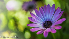a ray of Light (frederic.gombert) Tags: pink flowers light shadow sun sunlight white flower color tree green yellow garden nikon ray dof purple bokeh daisy greatphotographers d810