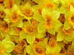 Plastic (arbyreed) Tags: arbyreed plastic fake artificial flowers artificialflowers yellowflowers