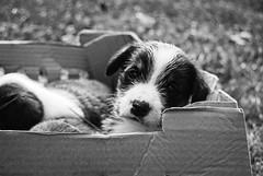 Kuce (Sareni) Tags: autumn light blackandwhite bw dog animal box serbia sm september mali pas ker vojvodina twop srbija 2014 banat jesen svetlost kuce kutija alibunar crnobela juznibanat sareni savemuncana