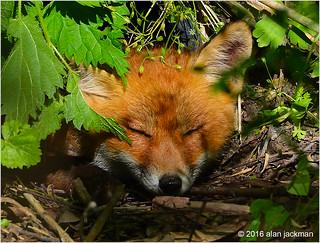 Fox Cub Catching Some ZZZZs, Scenes from John Heinz National Wildlife Refuge