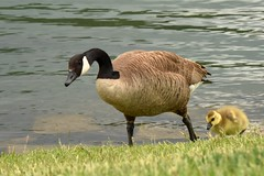 Canada Goose and Gosling (feltonbeasley) Tags: usa bird missouri branson canadagoose