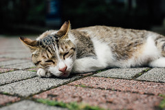 WIL_7795 (WillyYang) Tags: street cat 50mm kitten taiwan streetphotography taipei lazycat 50mmf12 50l 50mmf12l 5d3 5dmark3 canon5d3 canon5dmark3