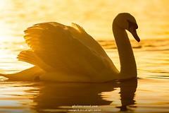 Swan Morningq (Ghulam Rasool Photography) Tags: park city morning light sun lake london water colors swan wildlife feather hues bbc rays birdslife