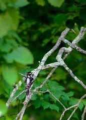 Hairy Woodpecker (michaelbbateman) Tags: bird us newjersey unitedstates wildlife hairywoodpecker kinnelon