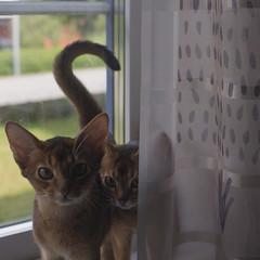 Fly Catchers 7 (peter_hasselbom) Tags: cats game window cat 50mm kitten play naturallight kittens usual abyssinian windowsill tuff ruddy twocats 2cats 19weeksold 2kittens huntingflies