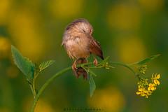 Plain Prinia Preening (Irtiza Bukhari) Tags: flowers pakistan green bird nature colors beauty yellow one bokeh wildlife small preening mustard prinia bukhari wildbird irtiza irtizabukhari