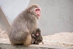 2016-06-17-16h54m48.BL7R0272 (A.J. Haverkamp) Tags: canonef100400mmf4556lisiiusmlens amsterdam zoo dierentuin httpwwwartisnl artis thenetherlands japansemakaak japanesemacaque dob09062016 pobamsterdamthenetherlands
