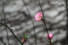 Cherry blossoms (~~ Y.C.CHEN) Tags: pink light plant black flower color tree green nature beautiful canon bokeh 7d