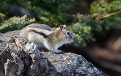 little chipmunk (the_green_squirrel) Tags: ca canada fauna mammal chipmunk alberta banff lakeminnewanka improvementdistrictno9