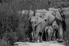 Full Family (Said Photography) Tags: dhikala jimcorbett elephants may2016 forest nationalpark india asiaticelephants