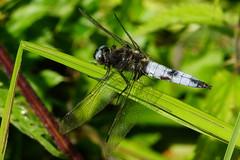 DSC06040 - Male Scarce Chaser (steve R J) Tags: male scarce chaser strumpshaw fen norfolk rspb reserve odonata british dragonfly