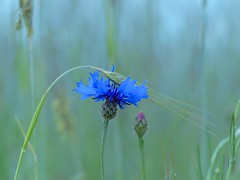 Kornblume , NGIDn1284315476 (naturgucker.de) Tags: mritznationalpark naturguckerde kornblumecentaureacyanus carmindreisbach ngidn1284315476