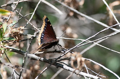 Mourning Cloak (martytdx) Tags: ca black butterfly adult sandiego large insects dorsal nymphalidae mourningcloak bmna nymphalis tortoiseshells brushfootedbutterflies nymphalinae nymphalisantiopa missionvalleypark