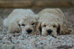 Resting time (luckynines) Tags: puppies sleep rest cocker 135mm