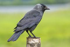 Jackdaw (Margaret S.S) Tags: corvid jacdaw