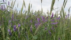Weizenfeld (rosalie.jennis) Tags: korn weizen weizenfeld