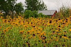 Sea Of Green Smothered In Yellow (thetrick113) Tags: park plant yellow barn paint vibrant bloom splash rudbeckia wildflower redbarn hudsonrivervalley reclaim hudsonvalley dicot beaconnewyork scenichudson blackeyesuzan dutchesscountynewyork longdockpark scenichudsonlongdockpark