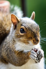 Thumbs up squirrel (Eyecandy Photography UK) Tags: nature animal hands squirrel pray devon