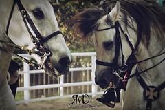 Paso a dos, caballos espaoles // Step two, andalusian horses (Marina Quilon Photography) Tags: horses horse caballo cheval caballos pre deporte cavalos cavalo pferd equestrian equine riendas chevaux doma dressage montar equitacion caballoespaol