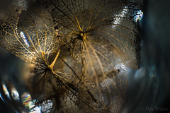 Hydrangea (Don White (Burnaby) Thanks for the Three Million V) Tags: macro skeleton bokeh extensiontube flowersplants hydranga 26mm sigma60mmf28