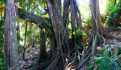 SonTra 800 year old Banyan Tree(Wild Fig)2 (Undiscovered Gilfillan) Tags: banyantree figtree nature forest