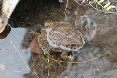 Apparently he lives in the drainage pipe (EllenJo) Tags: arizona water animal digital amphibian az drain toad canonrebel gutter drainage clarkdale deserttoad ellenjo
