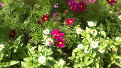 white-red-flower (jurinkof) Tags: flowers nature background violet kvety bielo červene