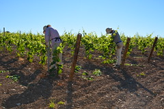 Vinyes de Sant Mart Sarroca, Alt Peneds (Angela Llop) Tags: landscape spain wine catalonia vineyards penedes
