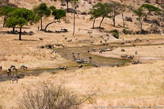 Small, winding Tarangire River (3scapePhotos) Tags: africa small tanzania animal animals continent river safari tarangire wildebeest winding zebra