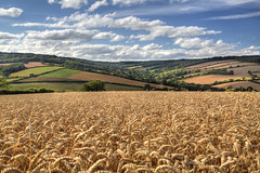 Coming Soon (rmrayner) Tags: sky landscape countryside farming devon valley crop agriculture hdr ruleofthirds ashcombe fieldofwheat sliderssunday
