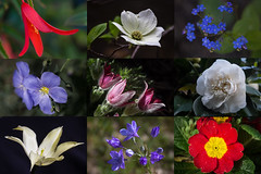 Three cheers for the Red, White, and Blue! (San Francisco Gal) Tags: blue red white flower collage tulip begonia dogwood camellia pasqueflower flax primrose brunnera brodiaea