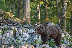 Brown bear 7 - Slovenia (Sinar84 - www.captures.ch) Tags: 2016 animal bear black blue brown brownbear cliff europa juni karst kocevska notranjska notranjskaregionalpark orange red rock slovenia slovenianbearscom summer trees white