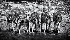 _SG_2016_05_Namibia_0029_IMG_0633 (_SG_) Tags: auto africa park trip horse elephant tree water car nationalpark wasser solitude desert hole national zebra afrika giraffe ausflug elefant namibia herd pferd baum strauch etosha gnus wildebeest watering wateringhole elefanten 2016 einde giraffen antilopen herde etoshanationalpark standpost wasserstelle etoshapark elefantenherde wildebai giraffenherde giraffesherd