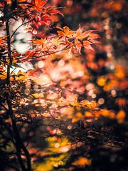 dZ/dt (Doug Knisely) Tags: red orange sun sunlight leaves yellow backlight bokeh olympus japanesemaple 4518 bokehballs omdem5markii