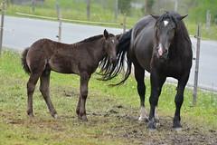 DSC_4624 (d90-fan) Tags: animals outdoors austria tiere sterreich natur pferde schnecke rauris fohlen hohetauern tauern krumltal murmeltiere raurisertal