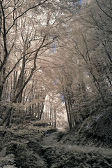To the Light (IR,590nm) (norbertfulep) Tags: trees summer forest sunny infrared shady obersterreich sunray supercolor infraredphotography 590nm