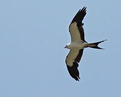 Swallow-tailed Kite (Elanoides forficatus) (Mary Keim) Tags: taxonomy:binomial=elanoidesforficatus centralflorida marykeim orlandowetlandspark