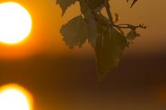 (Pauli Vallinmki) Tags: leaf sun sunset sea reflection tree