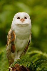 Dreamy (zarlock81) Tags: birds scotland wildlife balloch lochlomond barnowl schottland tytoalba schleiereule vereinigtesknigreich