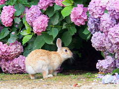 B6250644 (VANILLASKY0607) Tags: rabbit bunny bunnies nature animal japan photo wildlife wildanimal hydrangea rabbits rabbitisland wildrabbit okunoshima